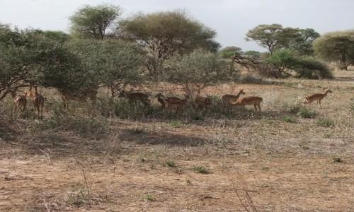 Zdjecie TANZANIA / Afryka Środkowa / Terengire / Safari w Parku Terengire