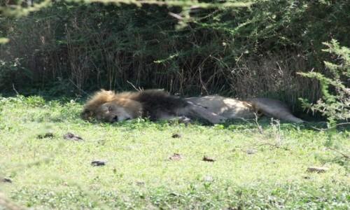 Zdjecie TANZANIA / Afryka Środkowa / Park Ngorongoro / Król śpi