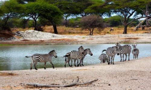 TANZANIA / Serengeti / Serengeti / Zebry w Serengeti
