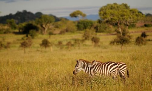 Zdjęcie TANZANIA / Serengeti / Serengeti / ***