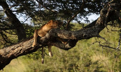 Zdjecie TANZANIA / Serengeti / Afryka / Siesta
