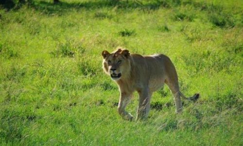 Zdjecie TANZANIA / brak / Serengeti / Przyszły król sawanny ;-)