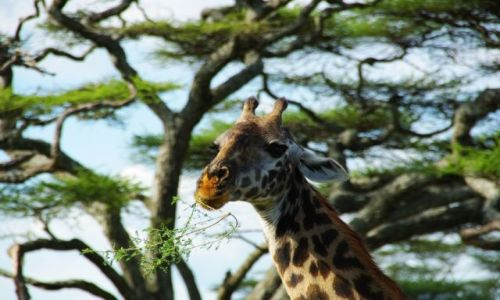 Zdjecie TANZANIA / brak / Serengeti / Ślicznotka