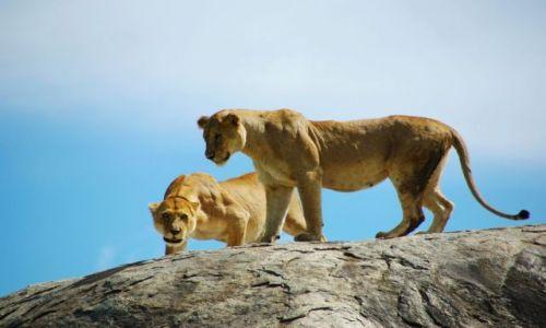 Zdjecie TANZANIA / brak / Serengeti / Trochę złe kotk