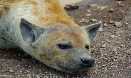 Zdjecie TANZANIA / brak / Ngorongoro / Naprawdę nie wiem dlaczego wszyscy uważają, że hieny są brzydkie