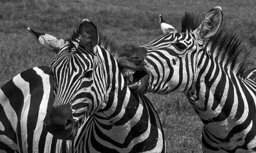 Zdjęcie TANZANIA / brak / Ngorongoro / Końskie zaloty