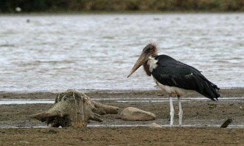 Zdjecie TANZANIA / brak / Lake Manyara / Marabut