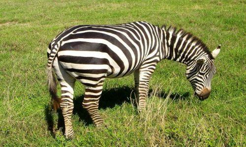 Zdjecie TANZANIA / Ngoro Ngoro / brak / ciężkie jest życie zebry ...