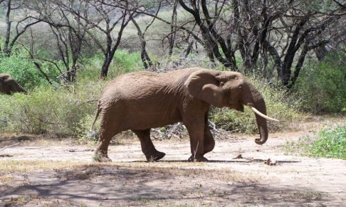 Zdjecie TANZANIA / Serengeti / Serengeti / slonik