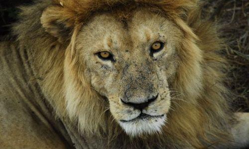 Zdjecie TANZANIA / serengeti / Serengeti / lew