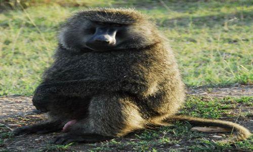 Zdjecie TANZANIA / Serengeti / Serengeti / pawian