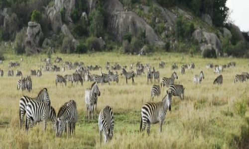 Zdjecie TANZANIA / Serengeti / Serengeti / zebrowisko