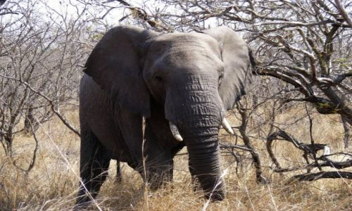 Zdjecie TANZANIA / Równina Serengeti / Park Narodowy Serengeti / Piękny gigant