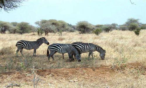 Zdjęcie TANZANIA / Tarangira / Park Narodowy Tarangira / Zebry