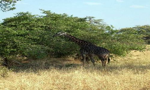 Zdjęcie TANZANIA / Tarangira / Park Narodowy Tarangira / Żyrafa