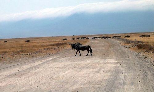 Zdjecie TANZANIA / Serengeti / Krater Ngoro Ngoro / Gnu