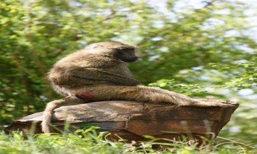 Zdjęcie TANZANIA / Manyara / Kamping Panorama / Pawian nr 2