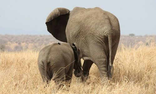 Zdjecie TANZANIA / - / Tarangire National Park / Tyłem