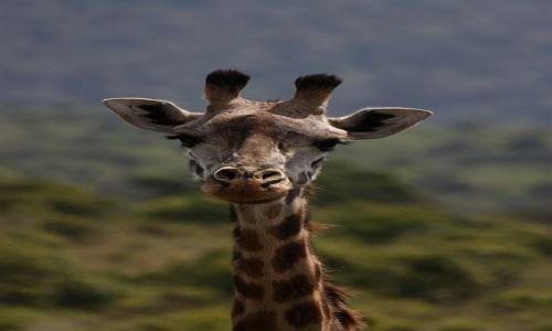 Zdjecie TANZANIA / - / Arusha Nationa Park / Żyrafa