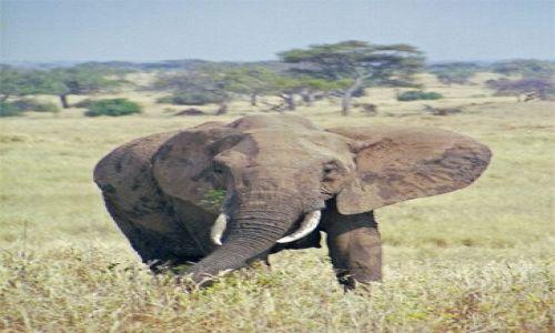 Zdjęcie TANZANIA / brak / Tarangira / Słoń w PN Tarangira