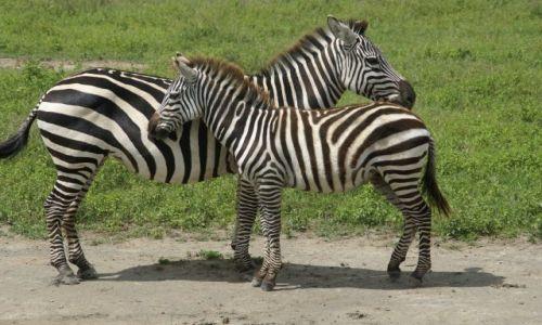 Zdjęcie TANZANIA / - / Krater ngorongoro / Fajnie z mamą...