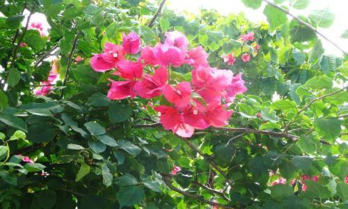 Zdjęcie TONGA / Tongatapu / Nuku'alofa / Kwiaty heilala