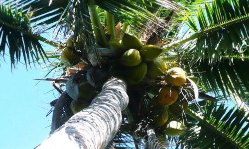 Zdjęcie TONGA / Tongatapu / Nuku'alofa / Też mają swoje kokosy