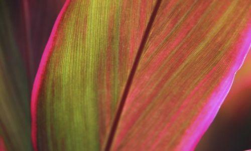 Zdjęcie TRYNIDAD I TOBAGO / tobago / tobago / kwiaty 3 Phorium