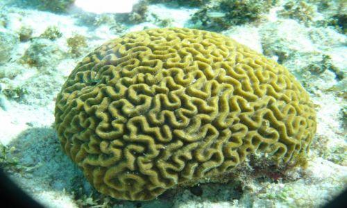 Zdjecie TRYNIDAD I TOBAGO / brak / Tobago Cays / Brain koral, rafa koralowa na Karaibach
