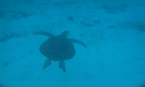 Zdjęcie TRYNIDAD I TOBAGO / brak / Morze karaibskie / Kareta kareta (zolw morski),