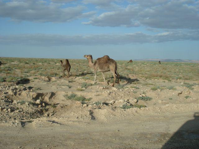 Zdjęcia: SAHARA, WIELBŁĄD, TUNEZJA