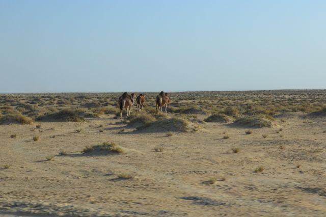 Zdjęcia: Sahara, Wielbłądy, TUNEZJA