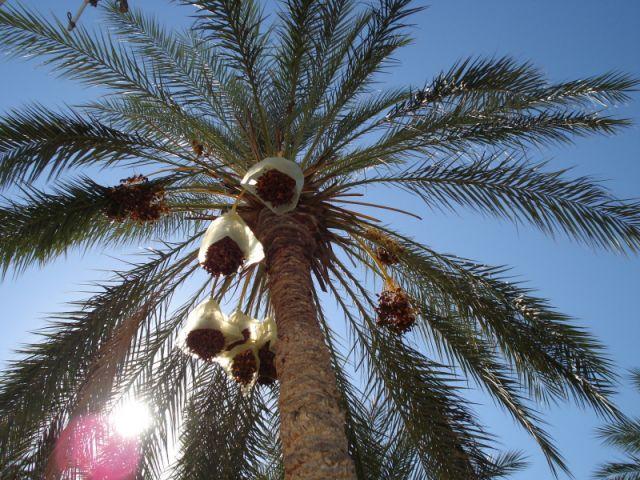 Zdjęcia: Djerba, Djerba, palma z innej strony, TUNEZJA