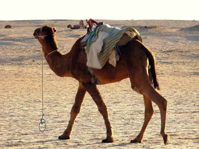 Zdj�cia: Tunezja, Wielb��d, TUNEZJA