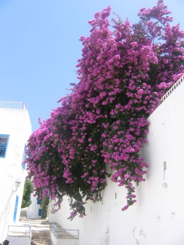 Zdjęcia: tunezja, kwiaty, TUNEZJA
