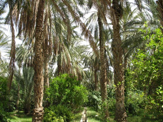 Zdjęcia: ., południe Tunezji, las palmowy, TUNEZJA