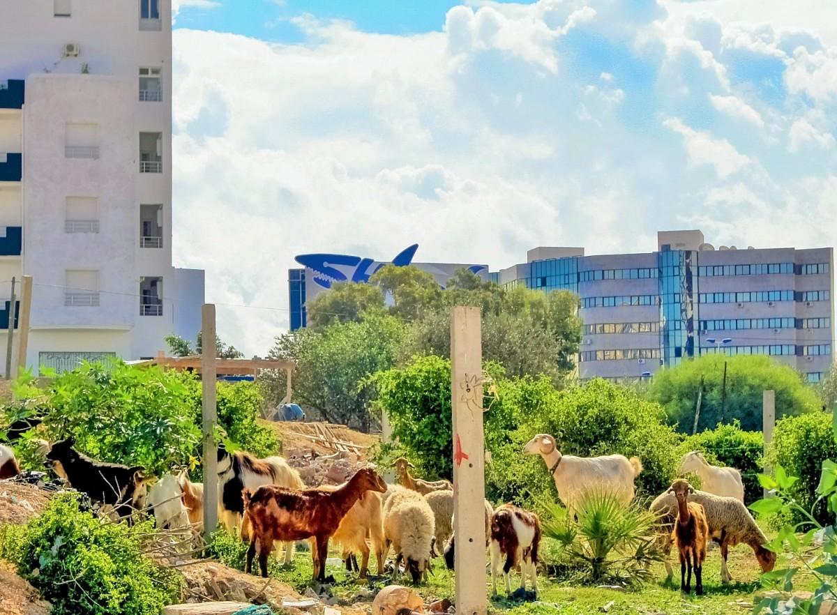 Zdjęcia: Susa, Susa, hodowla zblokowana, TUNEZJA