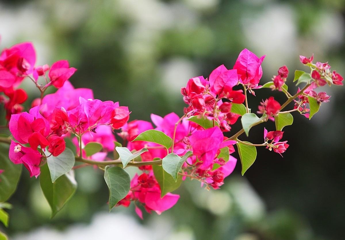 Zdjęcia: Hergla, Sahel Tunezyjski, kwiaty bugenwilli, TUNEZJA