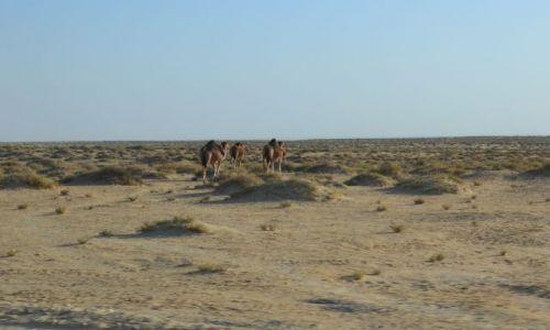 Zdjecie TUNEZJA / - / Sahara / Wielbłądy