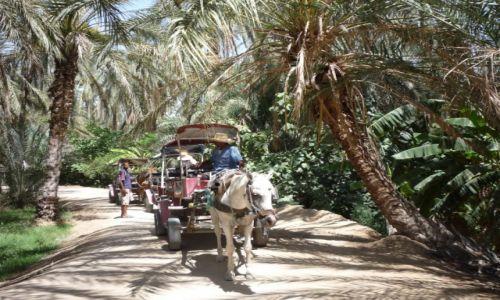Zdjecie TUNEZJA / Południowa Tunezja / Park z palmami daktylowymi / Wio :))))