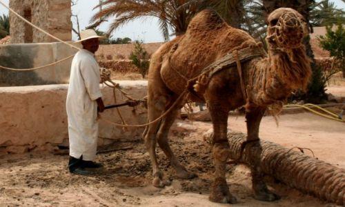 Zdjęcie TUNEZJA / PołudniowaTunezja / Djerba / Wielbłąd pociągowy