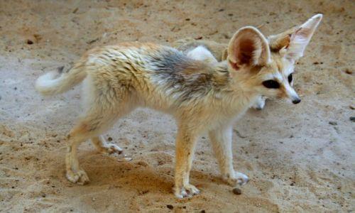 Zdjęcie TUNEZJA / Sahara / Oaza Tozeur / Fenek - pustynny lisek
