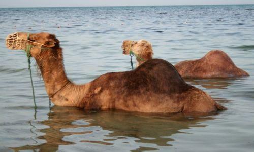 Zdjęcie TUNEZJA / Djerba / Aghir / Morskie wielbłądy