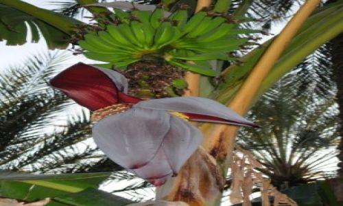Zdjecie TUNEZJA / KEBILI / DOUZ / Kwiat Bananowca