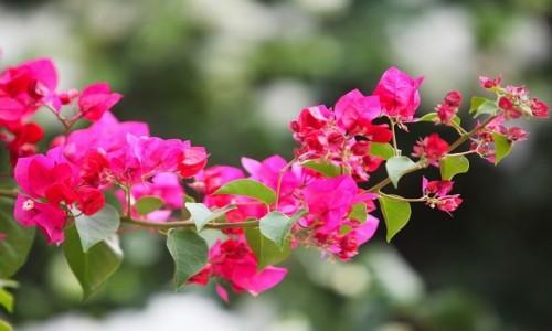 Zdjecie TUNEZJA / Sahel Tunezyjski / Hergla / kwiaty bugenwilli