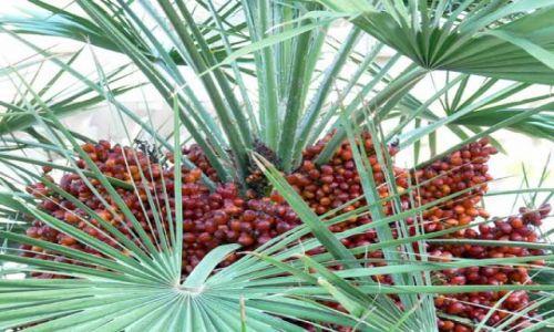 Zdjęcie TUNEZJA / brak / Hammamet / Kwitnaca palma