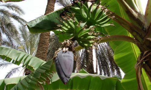 Zdjecie TUNEZJA / południowa Tunezja / oaza Degache / bananowiec
