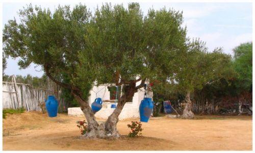Zdjecie TUNEZJA / Susse / wioska / drzewko oliwne