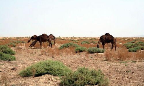 TUNEZJA / Północna Sahara / Tamerza / Dzikie wielbłądy na pustyni