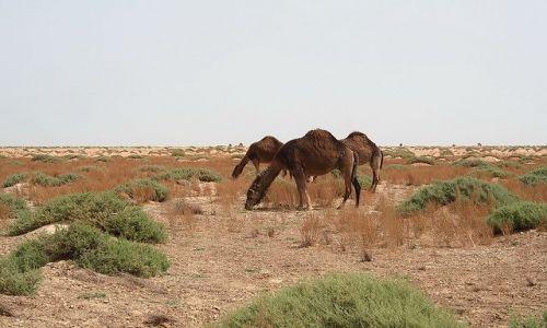 TUNEZJA / Zachodnia Tunezja / Tamerza / Rodzina dzikich wielbłądów na pustyni